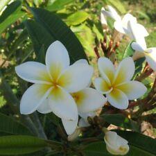Plumeria rubra/common frangipani-lot of 10 seeds