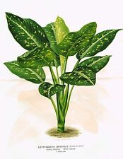 "Linden's - ""DIEFFENBACHIA IMPERIALIS- MOTHER IN LAW'S"" - Large Chromo - 1874"