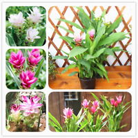 Thailand Curcuma Bonsai Called Siam Tulip Member Zingeraceae 10 Pcs Seeds NEW D
