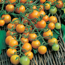 Liveseeds - Sungold the best cherry tomato in the world 19 finest seeds