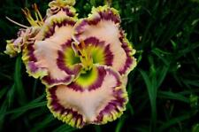 Daylily Seeds (Edge of Adventure x Ultimate Blush) (11) Seeds