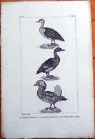La Sarcelle Femelle/d'Egypte/De La Chine - 1830s French Bird Print