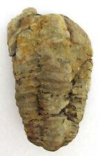 "TRILOBITE Flexicalymene ouzregui 3"" Fossil Morocco Ordovician 465 Million Yr Old"