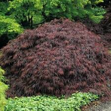 FOGLIA di taglio-acero giapponese Acer Palmatum dissectum - 10 semi-BONSAI-ornamentale