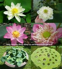 10 SEEDS MIXED COLOR LOTUS POND PLANT NOT WATER LILY