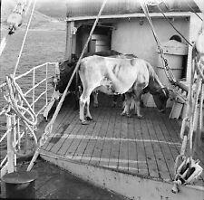 ANDROS c. 1950 - Bateau Vaches - Négatif 6 x 6 - GRE 55