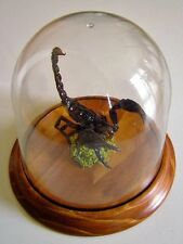 Heterometreus spinifer in a Dome