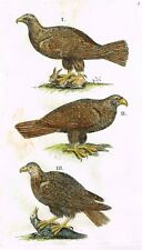 "Jonston - Merian Birds - ""THREE BIRDS OF PREY"" - Hand-Colored Engraving -1657"