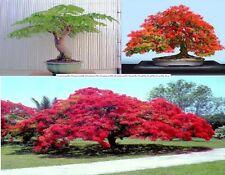 Royal Poinciana tree,Delonix Regia ,The flame tree, Flamboyant 5+ seeds