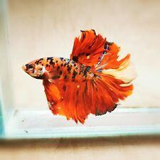 Live Betta Fish - Male - Koi Nemo Galaxy HalfMoon Betta(ANOV136)