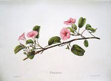 "Antique Hawaii Botanical Print: Hawaii Native Flower ""POHUEHUE"": London, 1885"