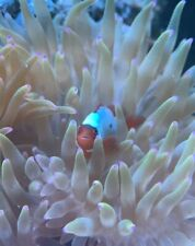 Thunder Maroon (Nearly All White) Clownfish Marine Fish Pair