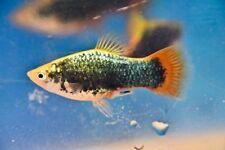 Black Neon Red Tail Variatus 4 Trio Random Gender Tropical Fresh Water Live Fish