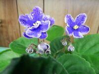 ~~African Violet~~15 Leaf Sets Sellers Choice~~