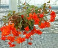 50 Begonia Seeds Trailing Cascade Beauty Scarlet Pelleted Seeds BULK SEEDS
