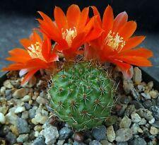 Rebutia gracilis Nice green cactus with orange flowers