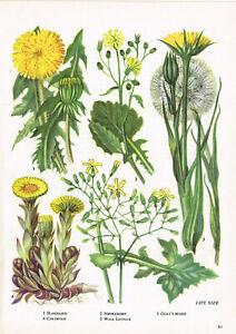 Dandelion Nipplewort Goat's Beard Coltsfoot Flower Plant Print 1962 TOBOWF#41