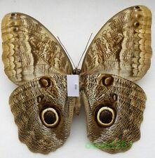 Caligo telamonius memnon female ex. ovo Peru 116mm9a