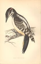 1865 ca - ANTIQUE ORNITHOLOGICAL PRINT- HAIRY WOODPECKER