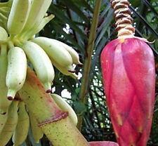 BANANA - Musa muluensis 5 seeds