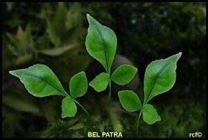 Fresh Green Bel Patra/Bilva Leaf Hindu Poojai 20/30g Packet (Free UK Post)