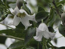 Clematis viticella, subsp campaniflora, Portuguese climber, 15 seeds/semillas