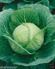 HYBRID CABBAGE 30 SEEDS  (Vegetable seeds)