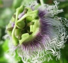 Passiflora Purple Giant 10 seeds