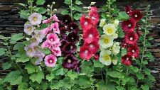 50 Seeds HOLLYHOCK Romantic gift Beautiful plant Free Shipping