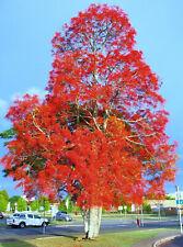 Brachychiton acerifolius - Illawarra Flame Tree - 30 Seeds