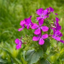 Honesty Seeds - Organically grown - Lunaria annua - 25 seeds