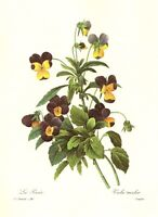 Vintage Pansy Botanical Print Antique Redoute Violet Flower Wall Art pjr 3795-96