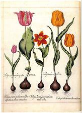 Tulipa 22x30 Hand Numbered Edition Botanical Garden Flower Art Print
