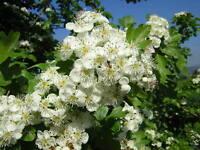 CRATAEGUS MONOGYNA vq Biancospino comune pianta Common hawthorn plant