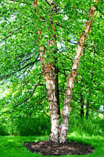 Copper/River Birch Tree (3 Pack), Betula nigra - Live Bare Root Plant