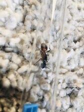 Camponatus Cruentatus reine seul  (fourmis)
