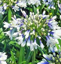 Agapanthus Twister in a 9cm pot