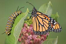 100+COMMON MILKWEED SEEDS Monarch Butterflies American Native Wildflower US Seed
