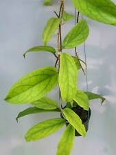 Hoya golden eyes [B29J1],1 pot rooted plant20-22 inchesUnique!