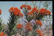 5 Samen knollige Seidenpflanze, Asclepias tuberosa#641