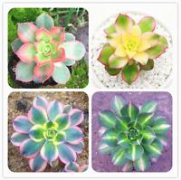 100 Pcs Seeds Aeonium Decorum Bonsai Flowers Succulents Potted Plants NEW 2019 Z