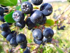 BLACK CHOKEBERRY - Aronia Melanocarpa - 40 seeds