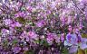 ARBOL de las ORQUIDEAS bauhinia variegata  semillas seeds
