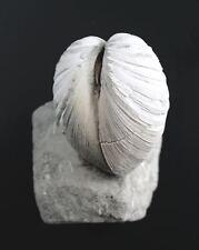 Oligozän  Mancosinodia manea  Bivalvia auf Matrix  Mainz-Laubenheim  W85-4
