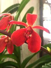 Rntda Kasem Jumbo 'Nn', orchid plant
