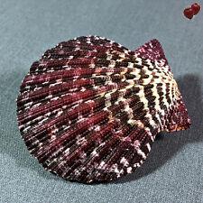 Pecten Gloriapallium Pallium, Thailand, 65,8 mm, LARGE, GREAT QUALITY, OLD COLL.