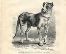 Stampa antica CANE MOLOSSO ALANO DANESE Great Dane 1891 Antique print dogs