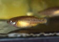 12 Eggs of Crenichthys baileyi grandis «Crystal Springs» (Rare Killifish)