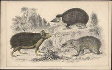 1830 Goldschmied Antik Print Igel swathy tendrae, lange Schmuckschildkröte & bewaffneten tenree