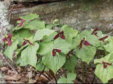 5 Trillium Plants Red Trillium Roots Bethroot Trillium Erectum Organic Herb